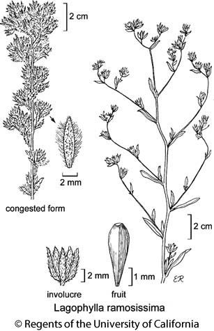 botanical illustration including Lagophylla ramosissima