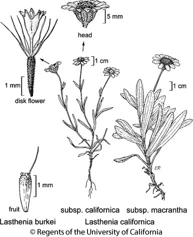 botanical illustration including Lasthenia californica subsp. macrantha