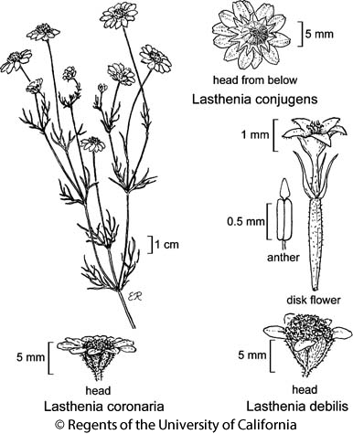 botanical illustration including Lasthenia conjugens