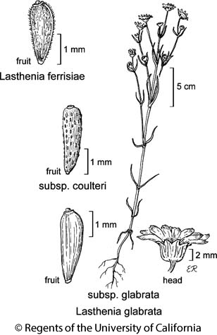 botanical illustration including Lasthenia ferrisiae