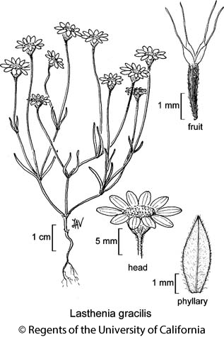 botanical illustration including Lasthenia gracilis