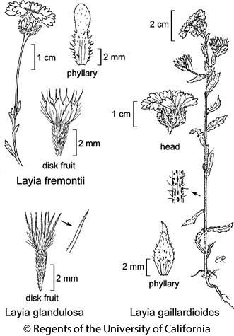 botanical illustration including Layia glandulosa