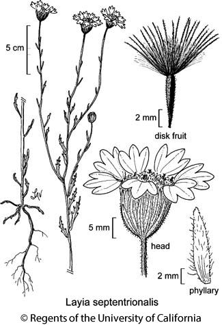 botanical illustration including Layia septentrionalis