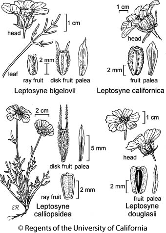 botanical illustration including Leptosyne bigelovii