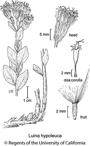 botanical illustration including Luina hypoleuca