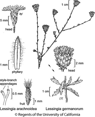 botanical illustration including Lessingia arachnoidea