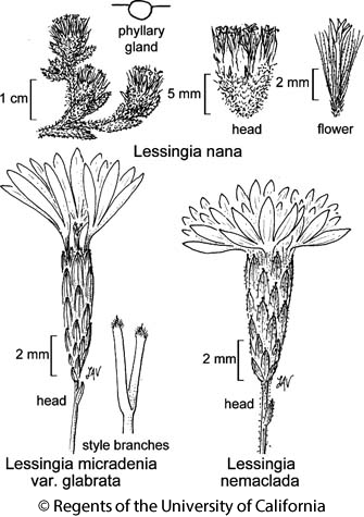 botanical illustration including Lessingia nemaclada