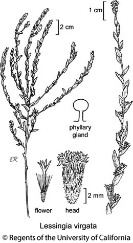 botanical illustration including Lessingia virgata