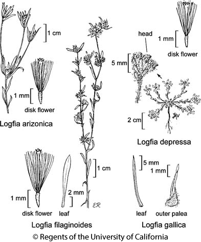 botanical illustration including Logfia gallica