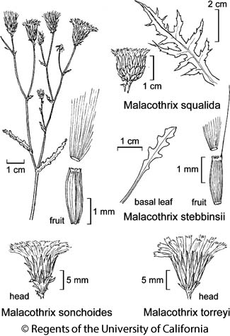 botanical illustration including Malacothrix sonchoides