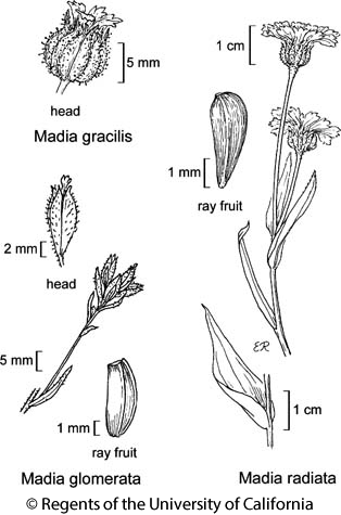 botanical illustration including Madia glomerata
