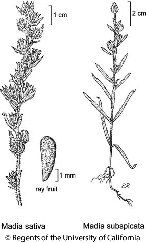 botanical illustration including Madia sativa