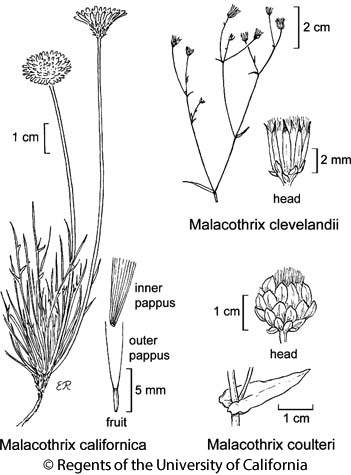 botanical illustration including Malacothrix californica