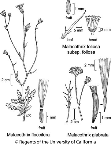 botanical illustration including Malacothrix floccifera