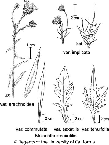 botanical illustration including Malacothrix saxatilis var. commutata
