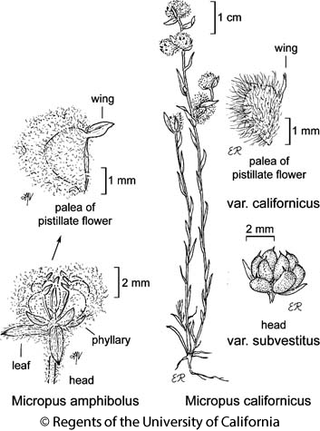 botanical illustration including Micropus amphibolus