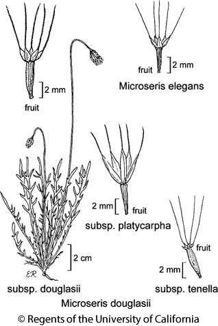 botanical illustration including Microseris douglasii subsp. douglasii
