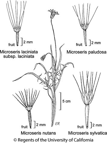 botanical illustration including Microseris paludosa