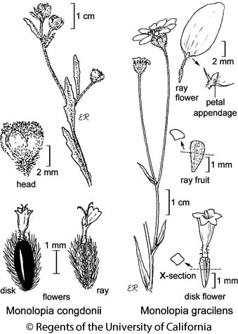 botanical illustration including Monolopia congdonii