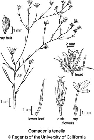 botanical illustration including Osmadenia tenella