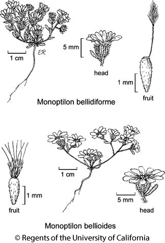 botanical illustration including Monoptilon bellidiforme