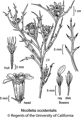 botanical illustration including Nicolletia occidentalis