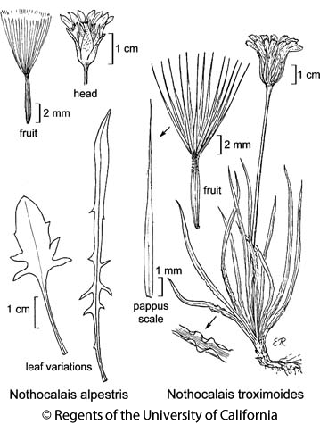botanical illustration including Nothocalais troximoides