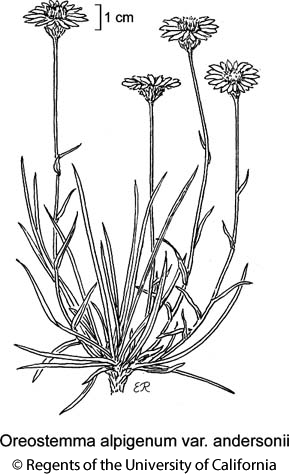 botanical illustration including Oreostemma alpigenum var. andersonii