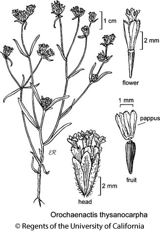 botanical illustration including Orochaenactis thysanocarpha