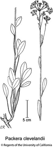 botanical illustration including Packera clevelandii
