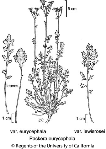 botanical illustration including Packera eurycephala var. lewisrosei