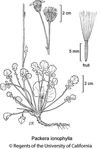 botanical illustration including Packera ionophylla