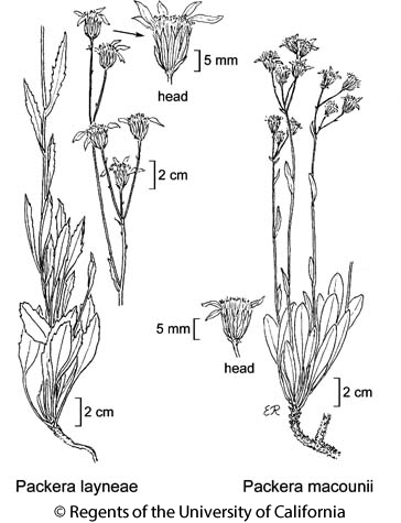botanical illustration including Packera layneae
