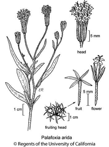 botanical illustration including Palafoxia arida