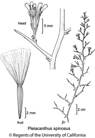 botanical illustration including Pleiacanthus spinosus