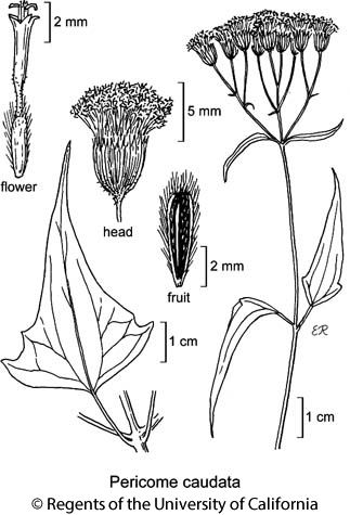 botanical illustration including Pericome caudata