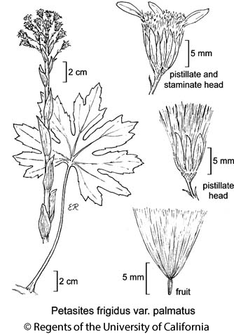 botanical illustration including Petasites frigidus var. palmatus