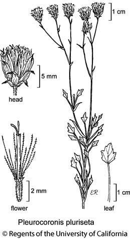 botanical illustration including Pleurocoronis pluriseta