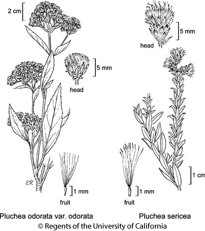 botanical illustration including Pluchea odorata var. odorata