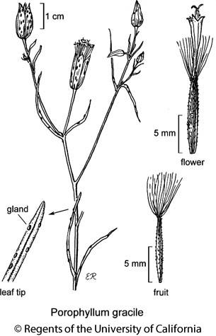botanical illustration including Porophyllum gracile