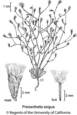 botanical illustration including Prenanthella exigua