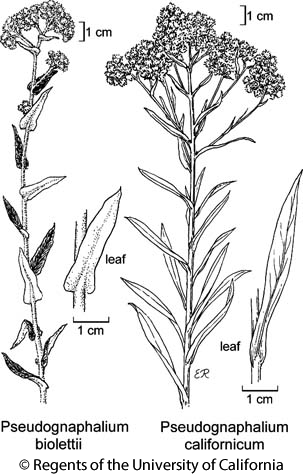 botanical illustration including Pseudognaphalium californicum