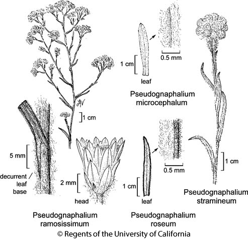 botanical illustration including Pseudognaphalium roseum