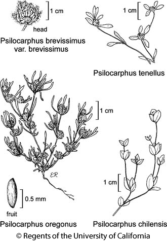 botanical illustration including Psilocarphus oregonus