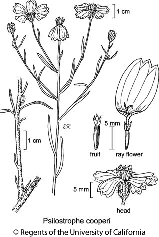 botanical illustration including Psilostrophe cooperi