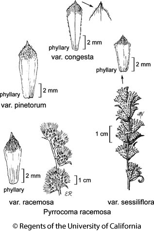 botanical illustration including Pyrrocoma racemosa var. sessiliflora