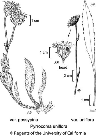 botanical illustration including Pyrrocoma uniflora var. uniflora