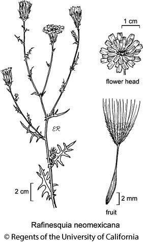 botanical illustration including Rafinesquia neomexicana