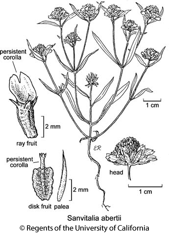 botanical illustration including Sanvitalia abertii