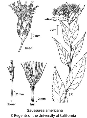 botanical illustration including Saussurea americana